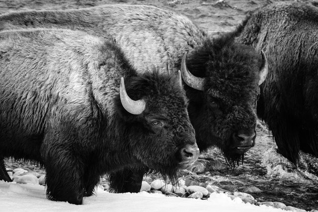 A group of bison standing on the Gros Ventre river.