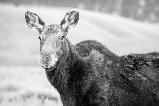 A portrait of a cow moose. She's seen partially from the side, with her face angled towards the camera.