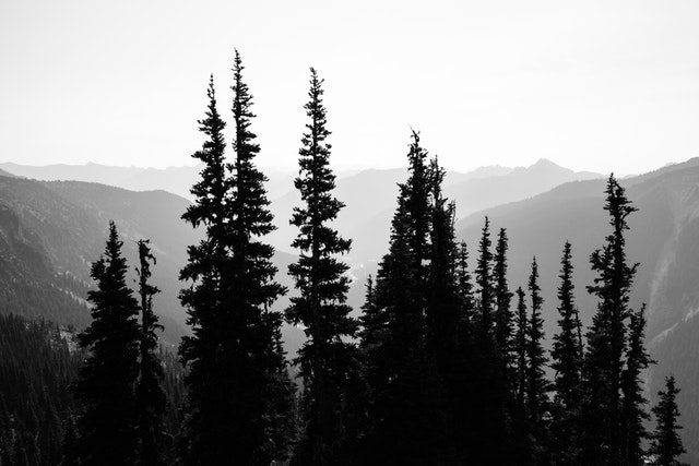 The silhouettes of a group of trees against the haze seen from the Glacier Overlook near Sunrise.
