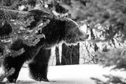 A male grizzly bear, seen through snow-covered pine tree branches in the woods.