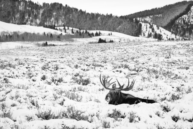 A bull moose lying down in snow-covered sage brush at Antelope Flats. He's looking towards the camera. In the background, pine-covered hills.