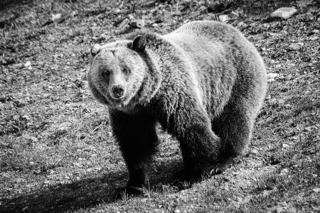 A grizzly, standing on a slope, looking directly at the camera.