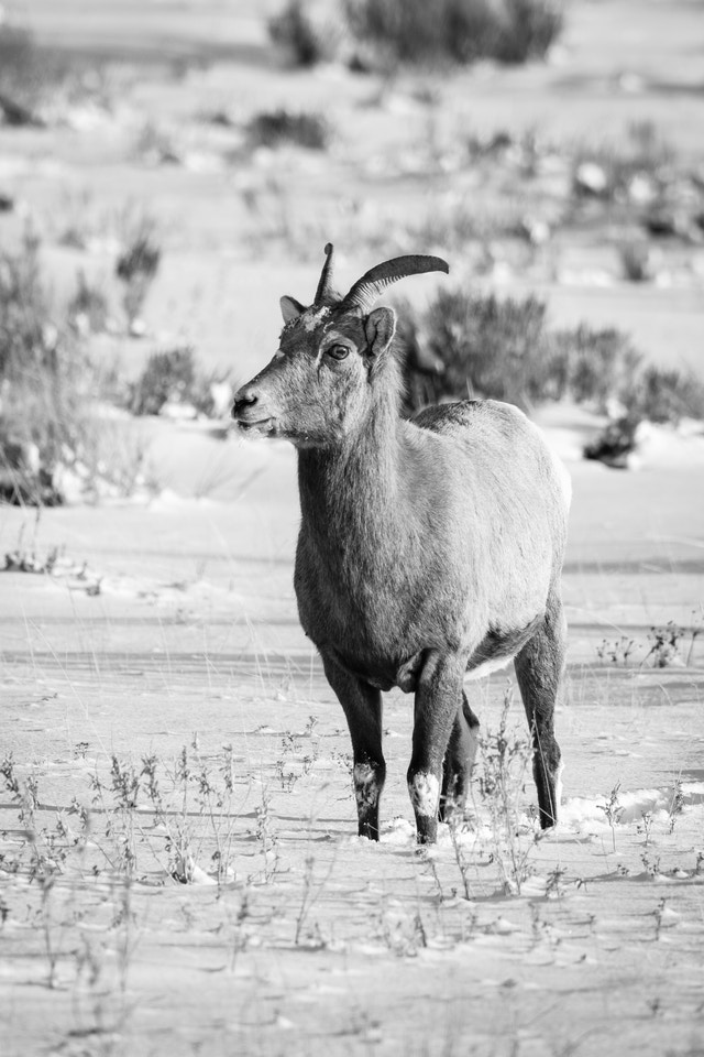 A bighorn sheep standing in the snow at the National Elk Refuge, Wyoming.