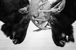 Close-up of two bull moose tussling in the middle of a road, their antlers locked.