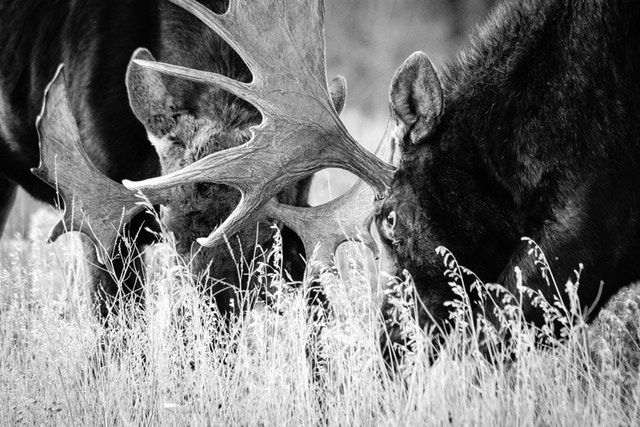 Two bull moose, heads-down, staring at each other and preparing for a tussle.