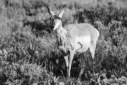 A young male pronghorn with barely grown horns, standing among some sage brush at Antelope Flats.