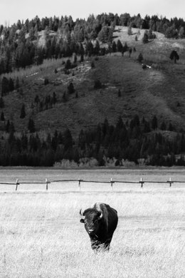 A bison eating some grass at Elk Ranch Flats. A wooden fence can be seen behind him, and in the distance, a tree-covered hill.