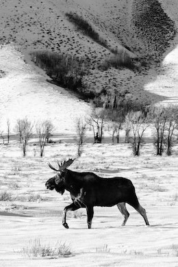 A bull moose walking in the snow along the Gros Ventre Road, with Blacktail Butte in the background.