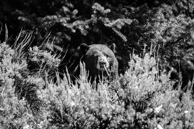 A black bear eating some grass in the sage brush.