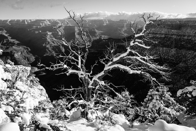 A bare tree, covered in snow, at the South Rim near Trail View Point.