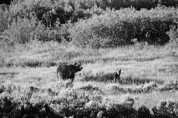 A female grizzly bear and a cub of the year standing in a field.