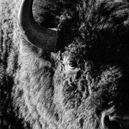 A close-up portrait of a bison, at Antelope Flats.