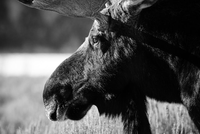 Close-up of the side of a bull moose's face.