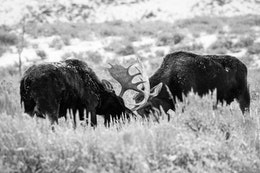 Two bull moose locking antlers while sparring on Antelope Flats.