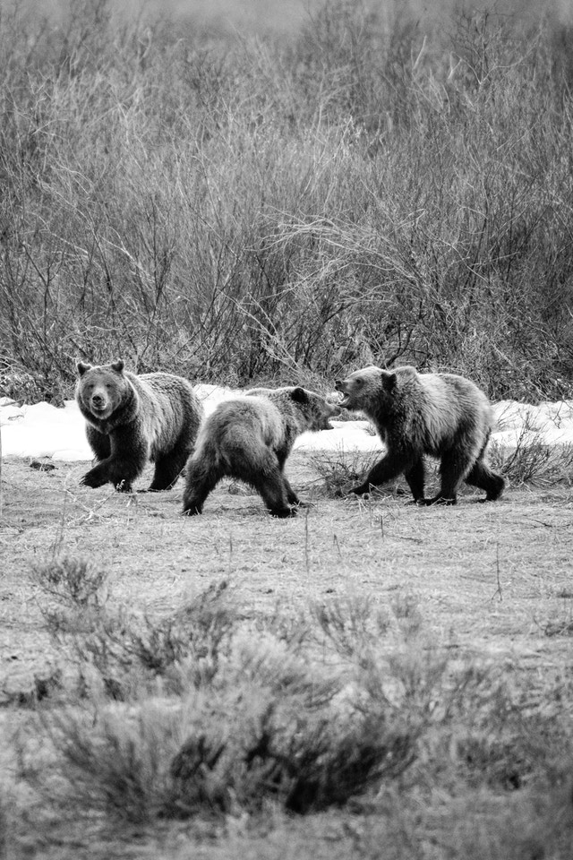 A female grizzly bear and her two cubs walking near a road at Grand Teton National Park. The sow is looking towards the camera and the two cubs are play-fighting.