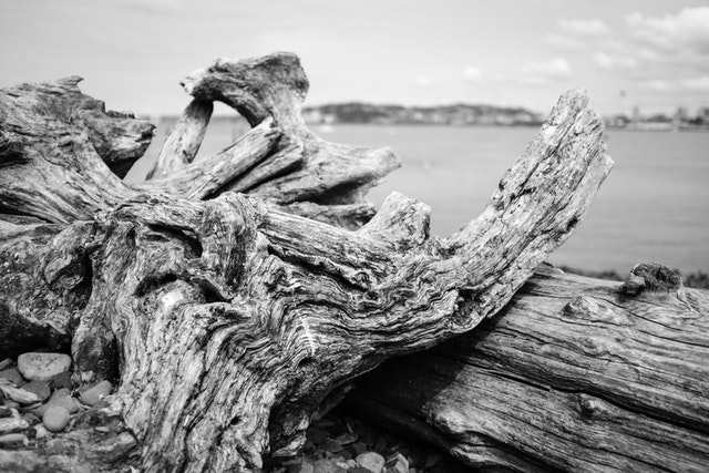 A big piece of driftwood on a beach in West Seattle.