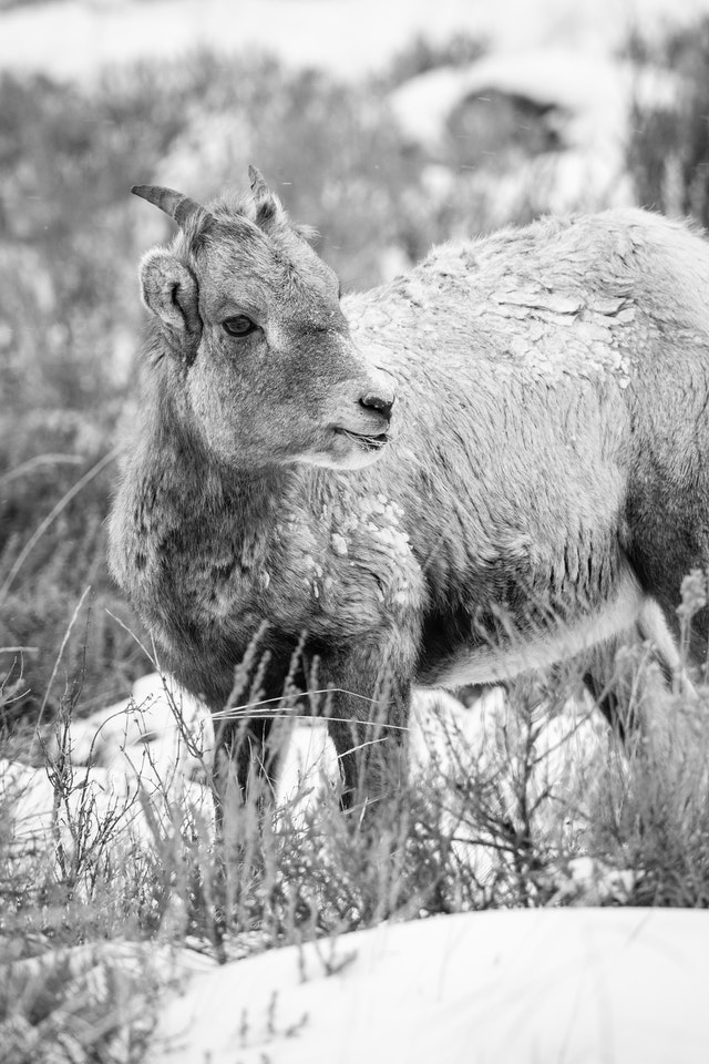 A young bighorn lamb, covered in snow and ice, looking towards its side.