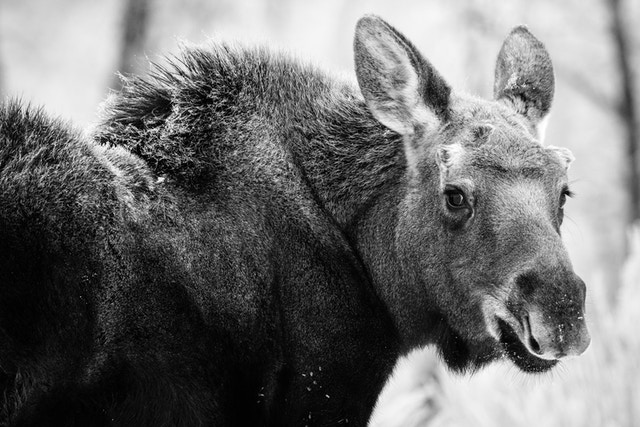 Close-up side view of a young moose on the Gros Ventre Road, looking straight at the camera.