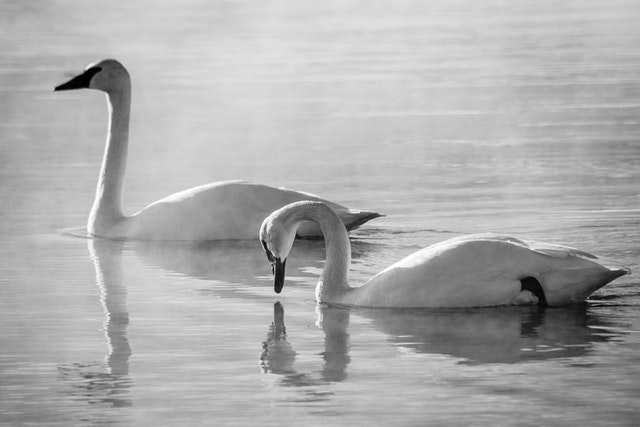 Two trumpeter swan swimming in the Kelly Warm Spring. The one to the right is about to dip its beak in the water.