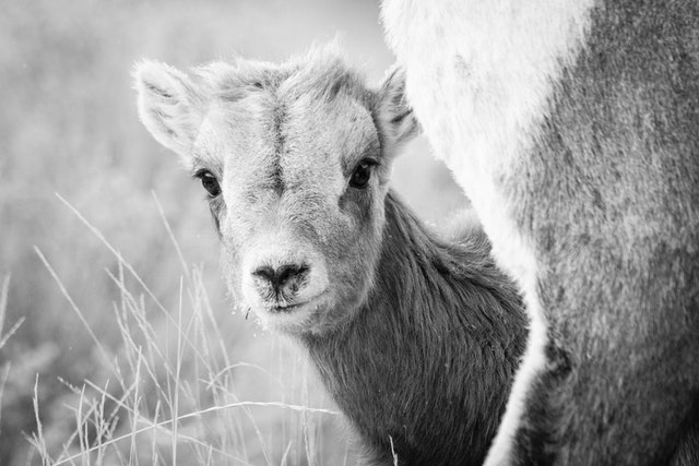 A young bighorn lamb, seen behind an ewe and looking towards the camera.