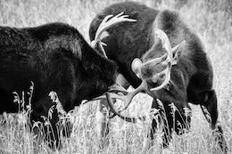 Two bull moose locking antlers while sparring.