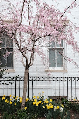 A blossoming cherry tree in front of a white row house in Capitol Hill.