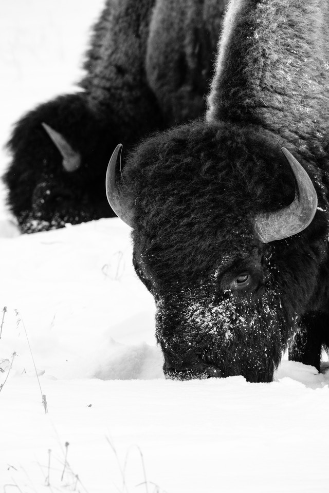 Two bison foraging through the snow in search for food.