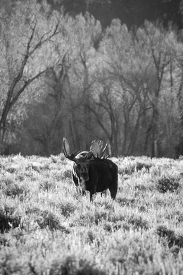 A big bull moose standing in sage brush. His breath is visible in the morning cold.
