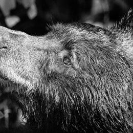 A side profile close-up photo of a very wet black bear.