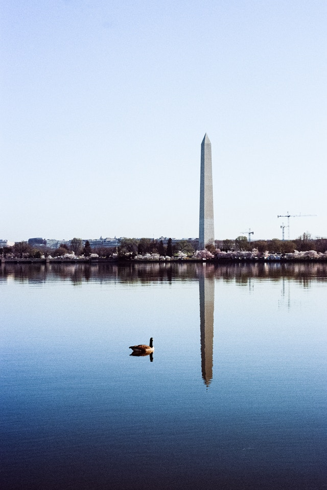 The Washington Monument reflected off the Tidal Basin, with a duck in front of it.