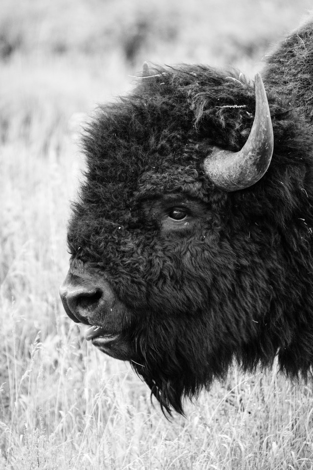 A bison eating some grass on the side of the road at Grand Teton National Park.