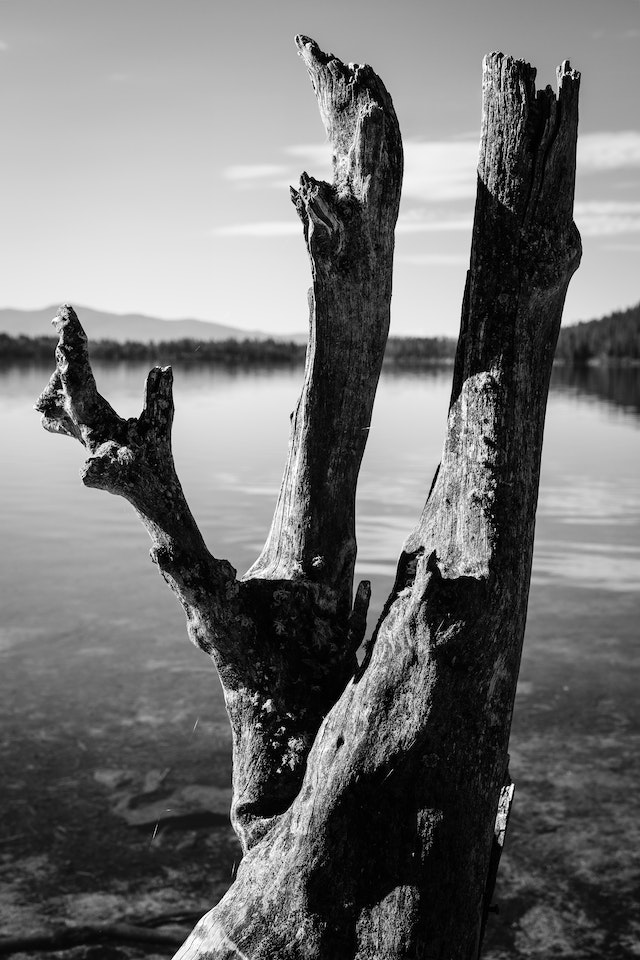 A close-up of the branches of a log near the shore of Phelps Lake.
