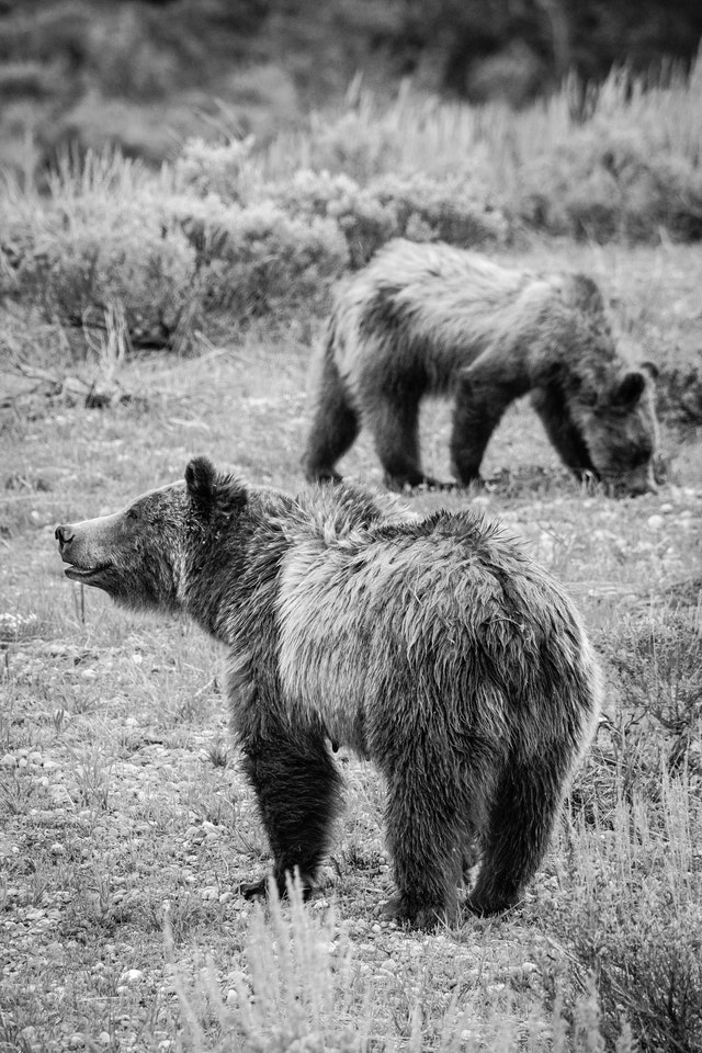 Grizzly 399, standing in a field looking to the left of the frame, while one of her cubs digs for food in the background.