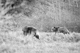 Two grizzly bears, a male on the right and a female on the left, walking side by side on the brush near Pilgrim Creek Road.