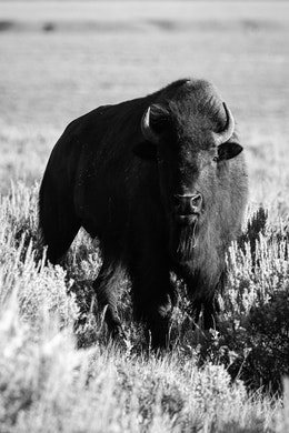 A bison standing among the sage brush and looking towards the camera, with a single blade of grass hanging from his mouth.