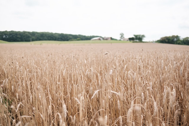 A wheat field at the Thomas Farm in Monocacy National Battlefield.
