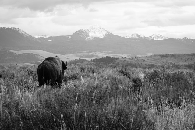 A bison walking away in Antelope Flats, with mountains in the background.
