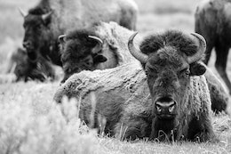 A bison lying down on the ground and facing the camera, with other bison standing in the background.