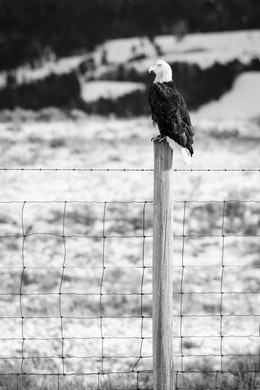 A bald eagle perched on a fence post separating Grand Teton National Park from the National Elk Refuge.