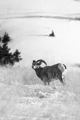 A bighorn sheep ram at the National Elk Refuge, Wyoming.