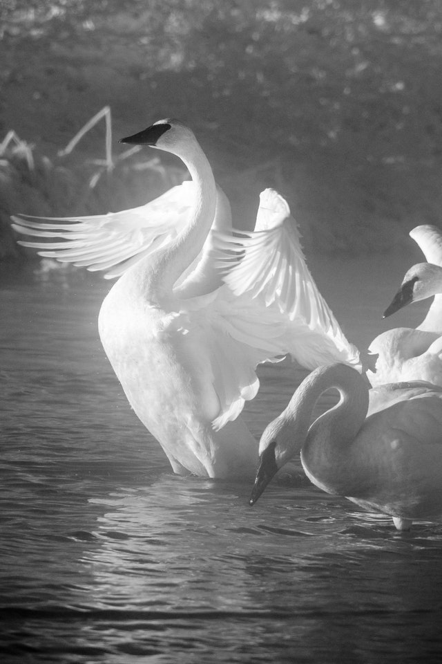 A trumpeter swan flapping its wings at the Kelly Warm Spring, next to two others.