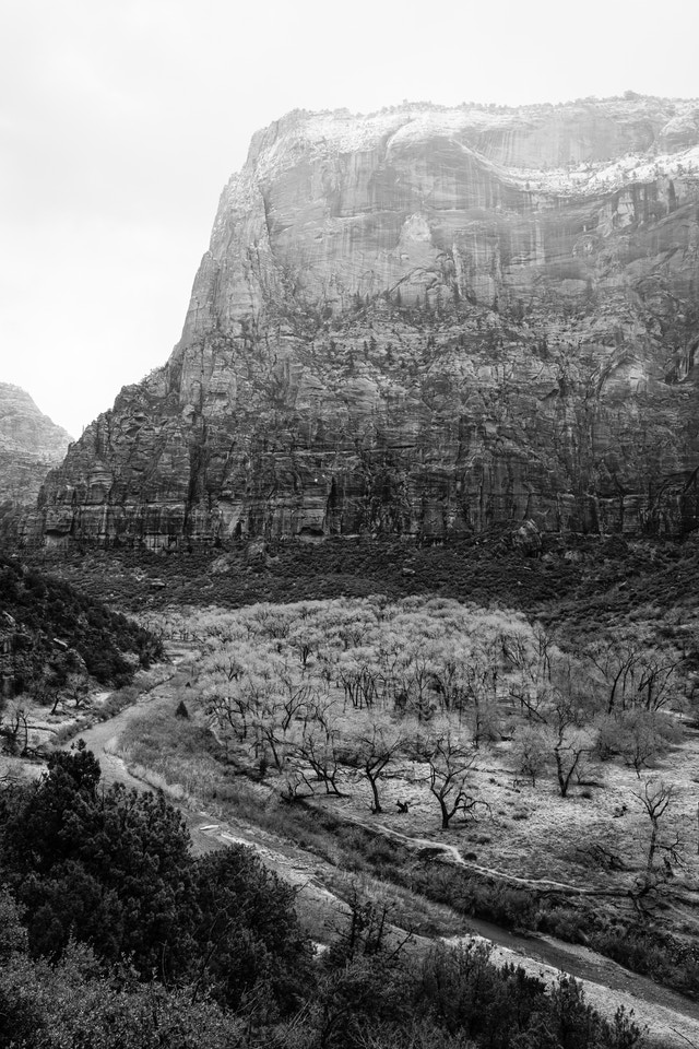 The valley floor of Zion National Park. In the background, the Great White Throne can be seen; and in the foreground, bare cottonwood trees next to the Virgin River.