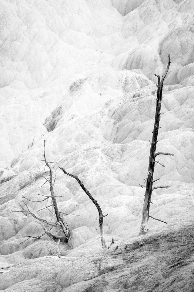 Three dead, calcified trees sticking out of the Mammoth Hot Spring terrace.