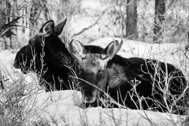 A cow moose and a bull moose bedded down in the snow. The bull is looking towards the camera.