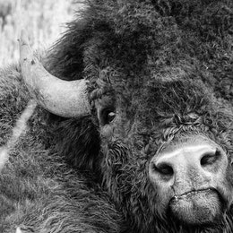 Close-up portrait of a bison, looking directly at the camera.
