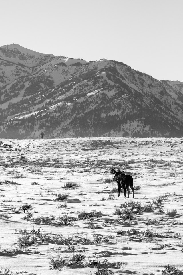 A bull moose walking on a snow-covered field along the Gros Ventre Road.