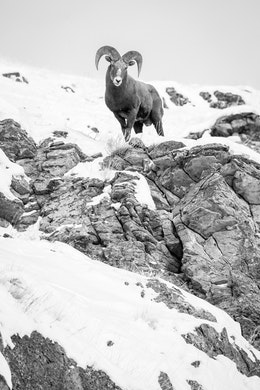 A bighorn sheep ram standing on a snow-covered rocky ridge on Millers Butte, National Elk Refuge.