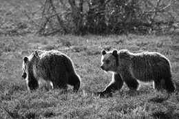 Two juvenile grizzly bears walking among the brush; the one in the back is looking towards the camera.