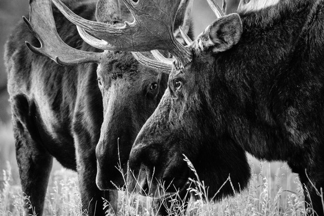 Two bull moose standing face to face.