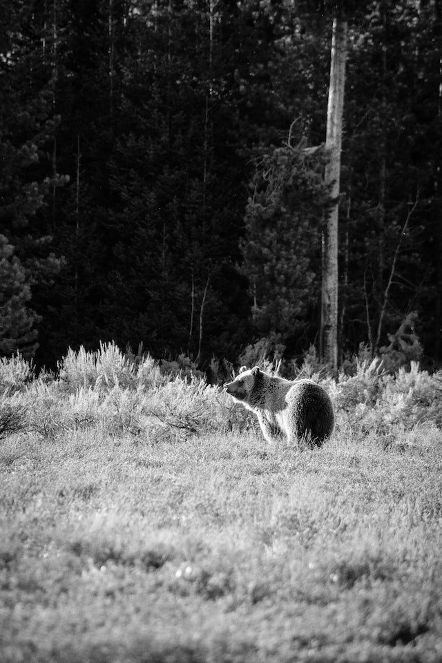 A grizzly bear standing in a field, looking to the left of the frame.